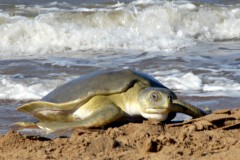 Episode 9 | Flatback sea turtles (Port Hedland)